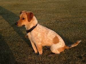 pitbull x australian shepherd jack russell terrier yellow lab mix puppy images
