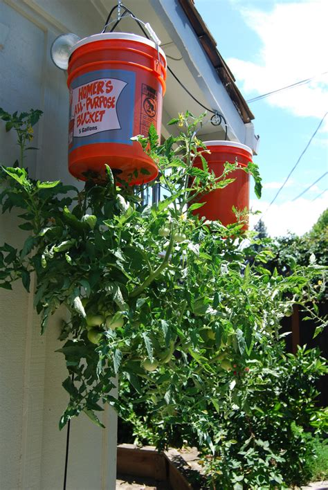 Growing Tomatoes In Planters by Tomatoes How To Grow Tomatoes