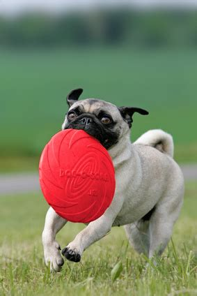 do pugs need a lot of exercise dogs and exercise benefits how much exercise does my need vetwest animal