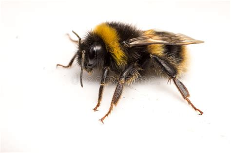 a bumble bee on a white background stock photo image
