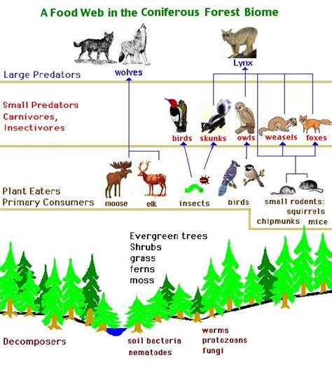 ecosystem food web diagram diagram of food web in coniferous forest so when i m a