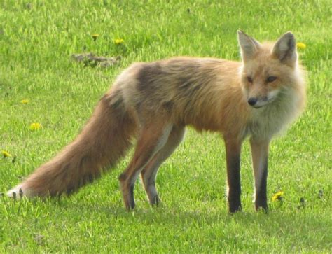 foxes in my backyard fox in my yard by amster2006 on deviantart