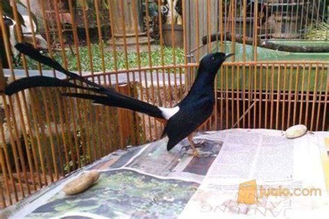 Burung Murai Batu Medan Asli burung murai batu medan asli jakarta utara jualo