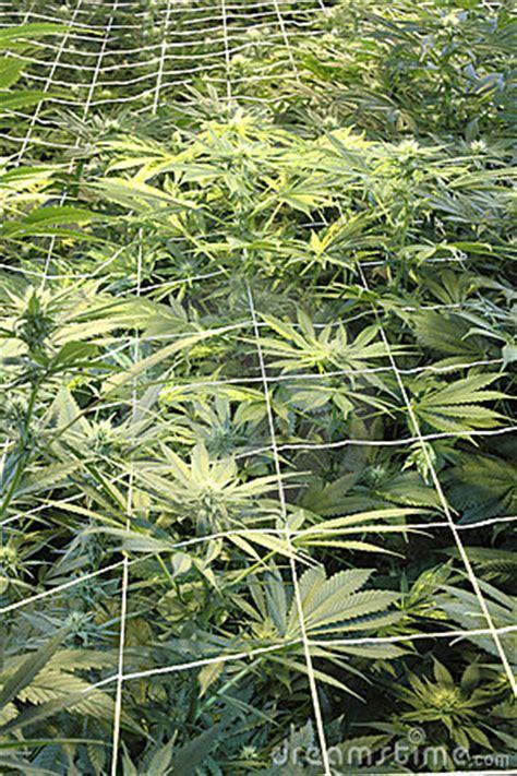cannabis training university   makers   magical