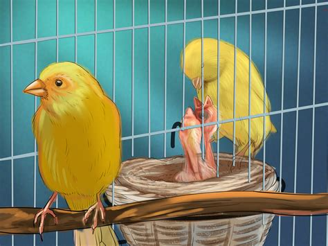 canarini riproduzione alimentazione how to breed canaries 10 steps with pictures wikihow