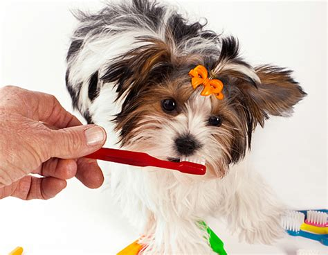 caring for shih tzu shih tzu care assistedlivingcares