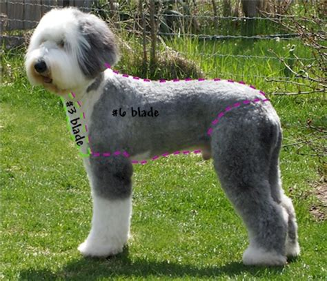 old english sheepdog grooming haircut sport clip
