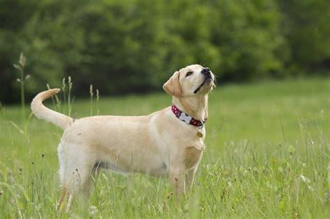american vs golden retriever american labrador retriever vs labrador retriever