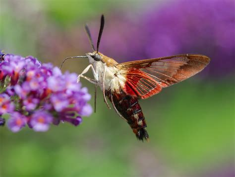 hummingbird clearwing roads end naturalist