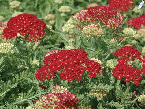 yarrow milfoil achillea millefolium 100 achillea millefolium pomegranate yarrow