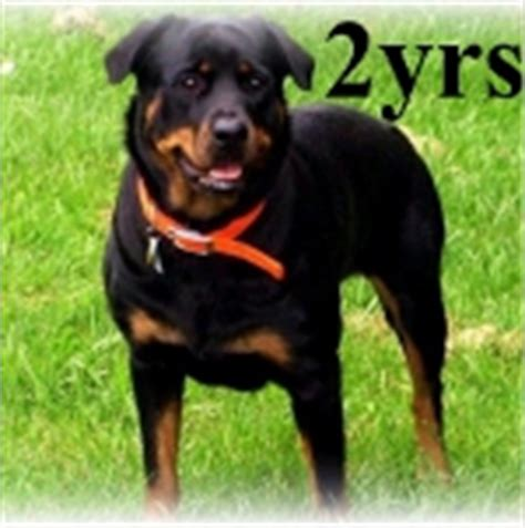 1 year rottweiler picture of a 1 year rottweiler dogs in our photo