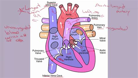 the four hollow sections of the heart 6 1 human heart parts youtube
