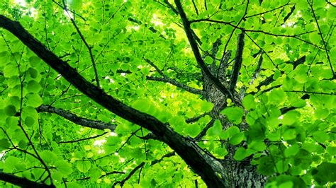 leaves and trees tree leaves wallpaper the conservative triangle of
