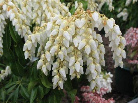 japanese flowering shrubs white andromeda flowers