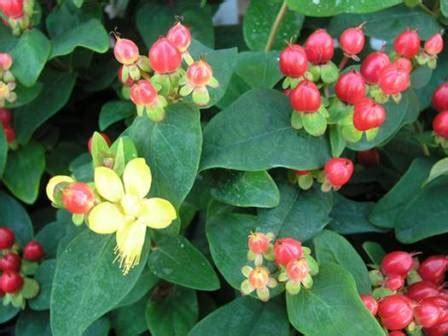 fiori di bacca hyperico 233 un fiore ornato di bacche rosse fiori a cdv