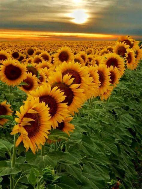 sunflowers in kansas kansas sunflowers us roadtrip 0 pinterest
