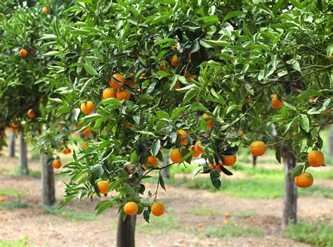 Fruit Trees In Planters by How To Avoid Yellow Leaves On Citrus Trees Sumogardener