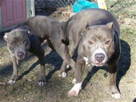 king gotti pitbull puppies for sale american pit bull terrier puppies for sale puppy bully king gotti breeds picture