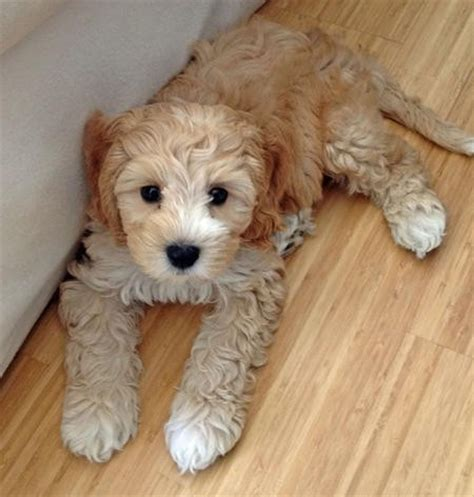 doodle puppy finder labradoodle click image to find more animals