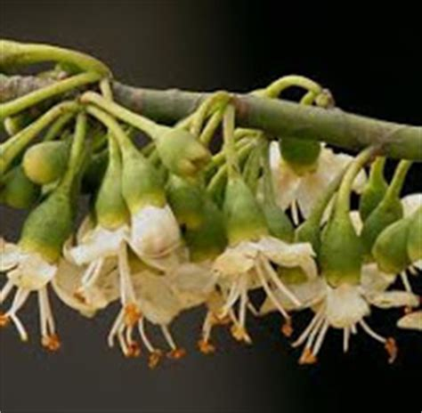 Bunga Kapas Putih Isi 10bh anim agro technology pokok kekabu