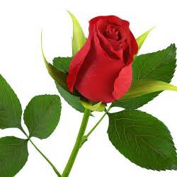 rose flower images computer wallpapers flowers wallpapers free download
