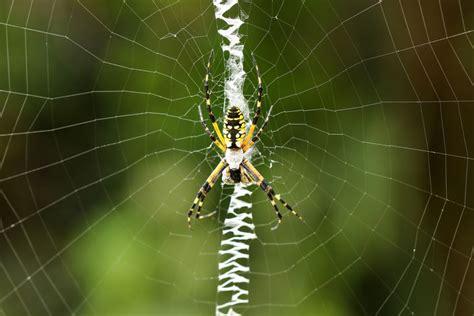 Garden Spider Behavior Black And Yellow Garden Spider Aurantia Argiope