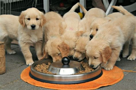 how to make golden retriever coat shiny puppy kibble it s what s for dinner