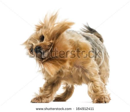 yorkie shaking shaking stock photos images pictures