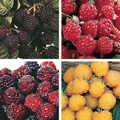 Raspberry Colorful colorful raspberry bargain direct gardening