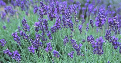 plants that repel aphids natures goodies 6 ways to repel insects with nature