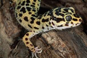 Southern Living Bathroom Ideas geckos as pets care guide and introduction