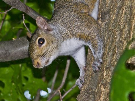 tree squirrels facts behavior information