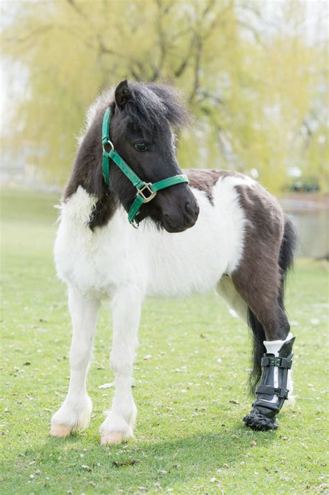 mini pony shine on miniature has in his step with