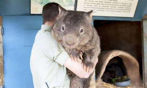 imagenes del animal wombat meet the oldest wombat on earth celebrating his birthday