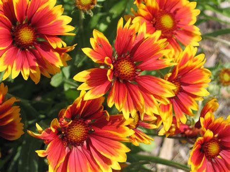 grow  care  blanket flowers