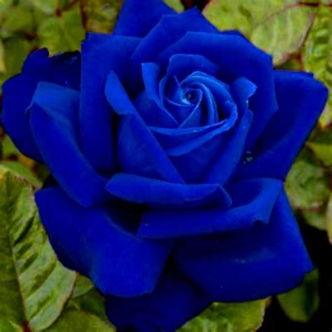 imagenes hermosas en azul the 25 best rosas hermosas ideas on pinterest flores