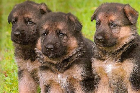 german shepherd puppies for sale german shepherd puppies for sale bazar
