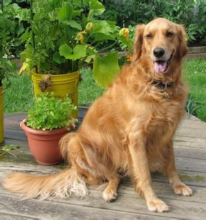 golden retriever weight range weight management lake palestine animal hospital