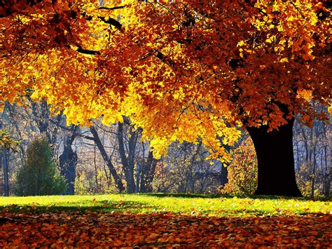 wallpaper autumn tree yellow leaf oak autumn oak tree
