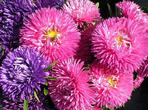 aster flowers wallpapers my note book images asters flowers