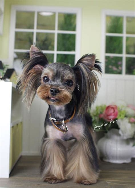 korean cut for yorkie toilettage de chiens yorkshire and chiens on pinterest
