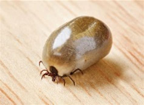 tick paralysis in dogs paralysis ticks a deadly threat for dogs cats gordon vet