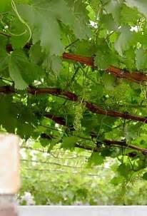 Training Grape Vines Pergola by Grapevines On Pergolas Arbours Carports