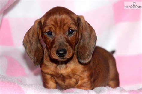 free puppies near me dachshund puppies for sale near me