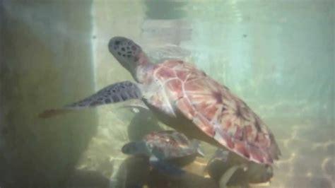 boatswain s beach grand cayman boatswain s beach cayman turtle farm ncl sun cruise