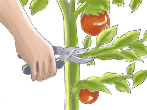 patio tomato how to prune patio tomatoes 5 steps with pictures