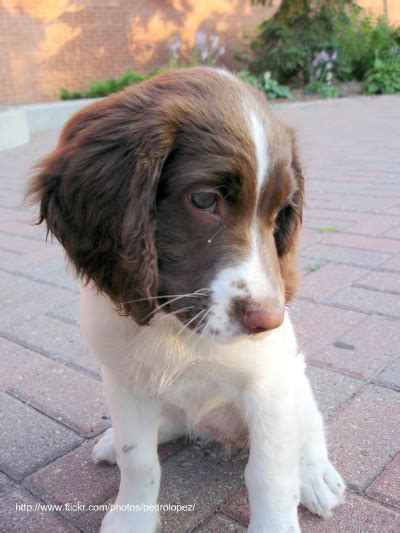 spaniel puppy springer puppy pictures