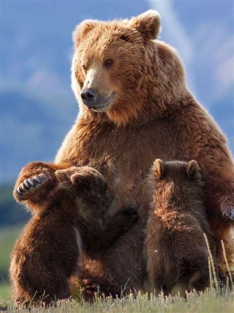 brown bear brown bear 0241137292 brown bear nursing two cubs bears brown bear bears and mother bears