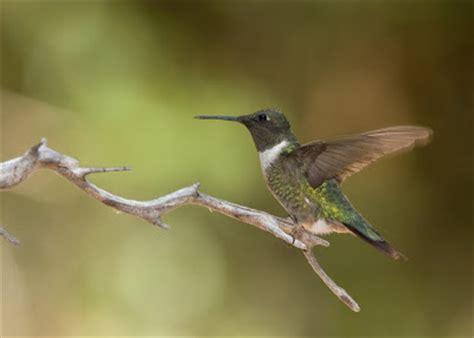 papasula s birding blog ruby throated hummingbird in