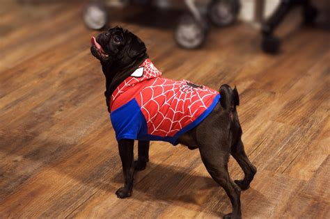 spider pug costume about pug pugs pugs pug stories all pugs
